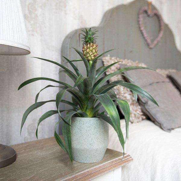 Ananasplant 'Ananas Comosus' - Groen
