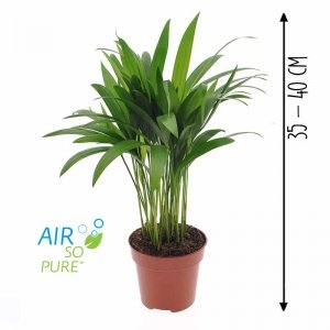 Areca / goudpalm 'Dypsis Lutescens'