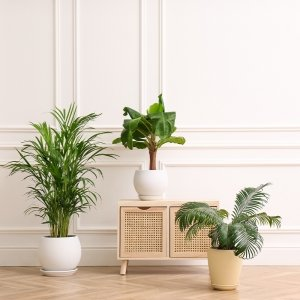 Areca / goudpalm 'Dypsis Lutescens' - Groen