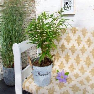Bamboe Struik 'Fargesia Rufa'