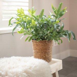Blauwvaren 'Phlebodium Aureum' - Groen