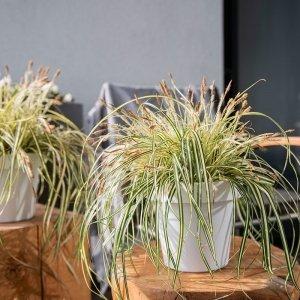 Bontbladige Zegge ' Carex Evergold'