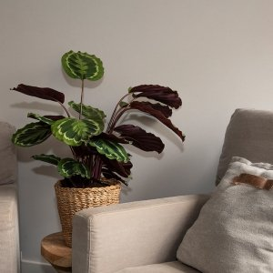XL Pauwenplant 'Calathea Medaillon' - Groen