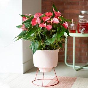 Flamingoplant 'Anthurium'