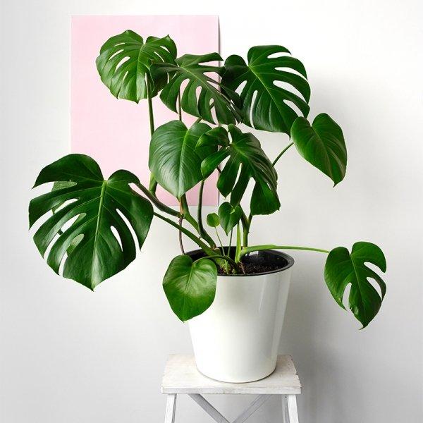 Gatenplant 'Monstera Deliciosa'
