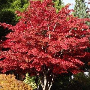 Japanse Esdoorn Rood 'Acer Palmatum Atropurpureum'