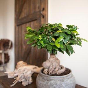 Kamer Bonsai Ficus 'Ginseng'