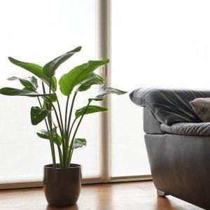 Paradijsvogelplant 'Strelitzia Nicolai'