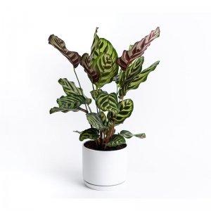 XL Pauwenplant 'Calathea Makoyana'