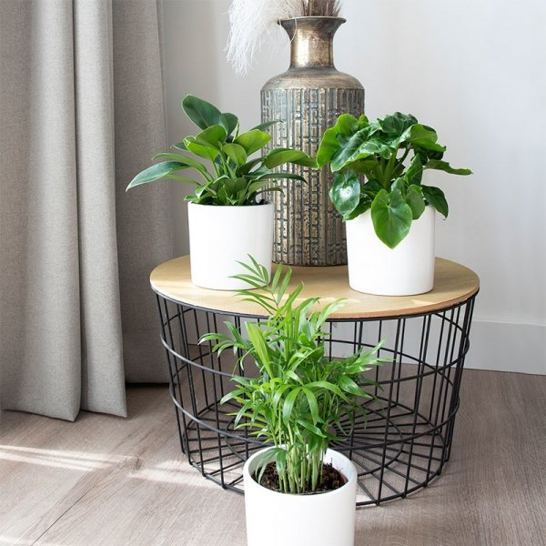 Philodendron Bipinnatifidum 'Atom'