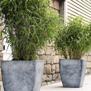 Set van 3 - Bamboestruiken