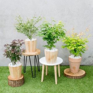 Set van 4 -Japanse Esdoorn | Acer Palmatum