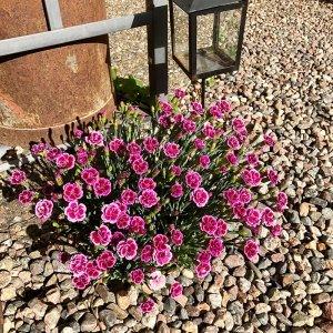 Set van 9 - Anjer Dianthus 'Pink Kisses'