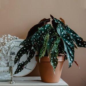 Stippenbegonia 'Maculata Wightii'
