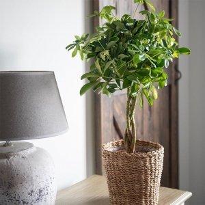 Vingerboom Schefflera 'Gold Capella' - Groen