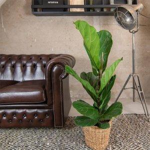 XL Vioolbladplant 'Ficus Lyrata'