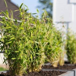 Bamboe Struik 'Fargesia Rufa' XL