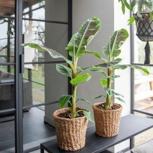 XL Bananenplant 'Musa'
