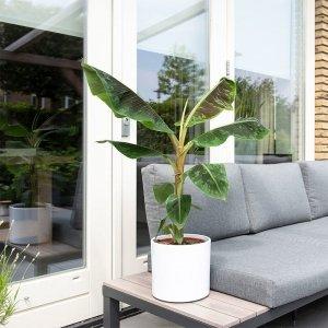 XL Bananenplant 'Musa 'Dwarf Cavendish'