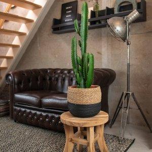 XXL Cowboy Cactus 'Euphorbia Acrurensis'