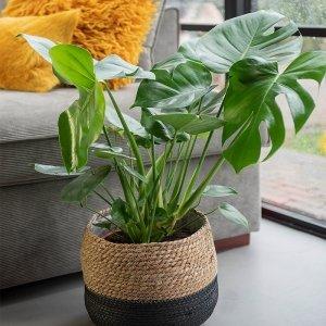 Gatenplant 'Monstera Deliciosa' XL - Groen