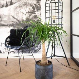 XXL Olifantenpoot 'Beaucarnea 'Maya Palm'