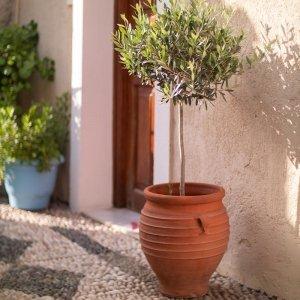 XL Olijfboom 'Olea Europaea' - Groen