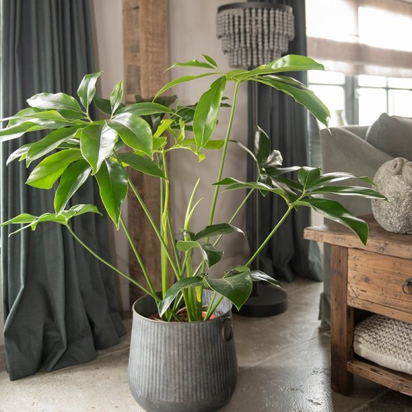 XXL Philodendron 'Green Wonder'