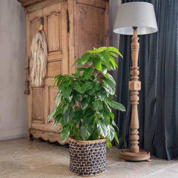 XXL Vingerplant 'Schefflera Actinophylla 'Amate'