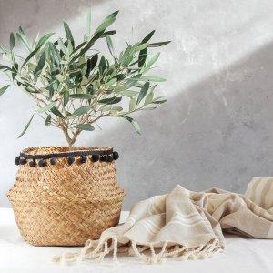 Olijfboom 'Olea Europaea'