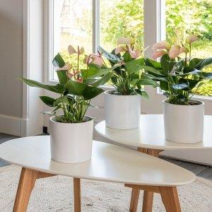 Set van 3 - Anthurium Hotlips