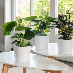 Set van 3 - Anthurium Zwart en Wit