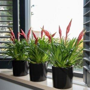Set van 3 - Bromelia Vriesea 'Astrid'