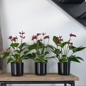 Set van 3 - Flamingoplant 'Anthurium 'Purple'