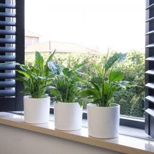 Set van 3 - Lepelplant Spathiphyllum
