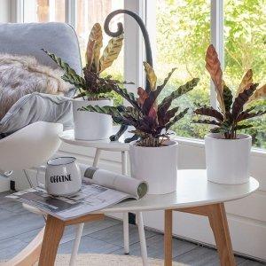 Set van 3 - Pauwenplant 'Calathea Insignis'
