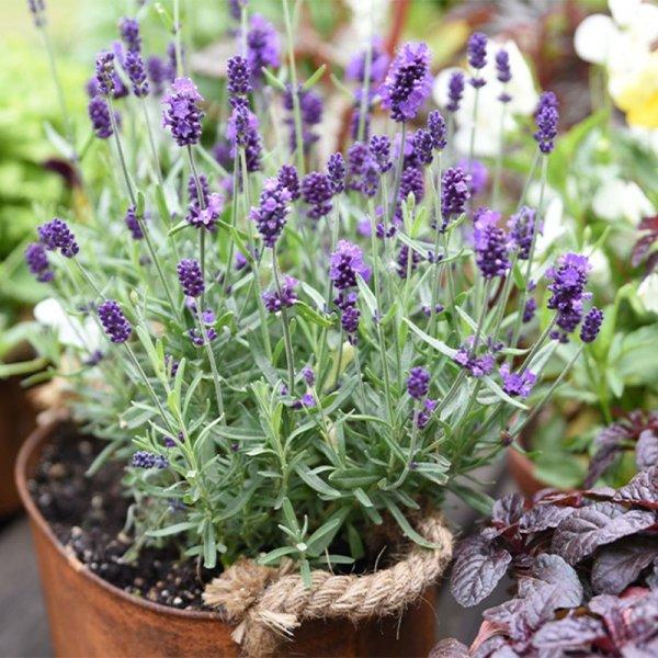 Set van 6 - Lavendel 'Angustifolia'