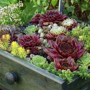 Set van 6 - Rotsenplanten 'Sempervivium Mix'