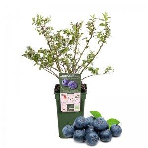 XL Blauw Bosbes Fruitplant 'Vaccinium'