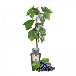 XL Blauwe Druif Fruitplant 'Vitis Venus'