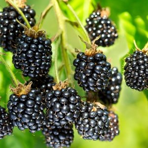 XL Braam Fruitplant 'Black Satin'