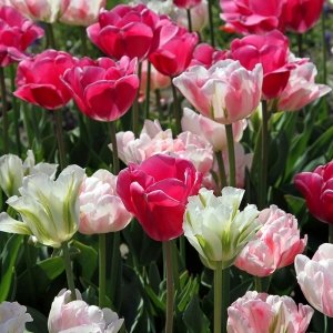 30 stuks Bloembollen - Tulpen Farmers Mix 'Amore'