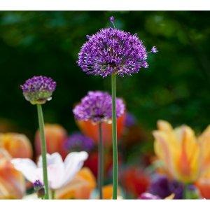 40 stuks Bloembollen - Sierui 'Allium' - Purple Rain