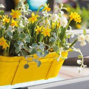 50 stuks Bloembollen - Narcis 'Tete a Tete'