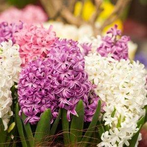 10 stuks Bloembollen - Hyacint Pastel Mix