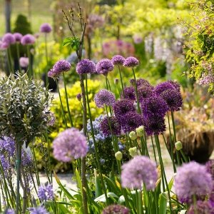 20 stuks Bloembollen - Sierui 'Allium' - Paars & Wit