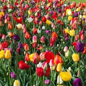30 stuks Bloembollen - Tulpen Mix