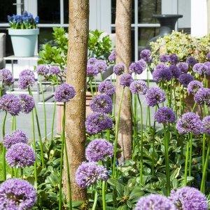 40 stuks Bloembollen - Sierui 'Allium' - Paars & Wit