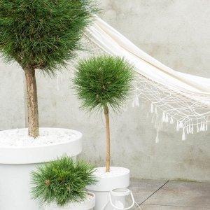 Dwerg pijnboom 'Pinus Nigra'