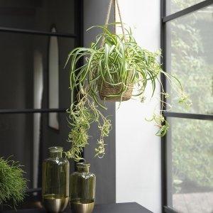 Graslelie 'Chlorophytum Bonnie'